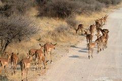 Impalas in the Etosha National Park in Namibia Royalty Free Stock Photos