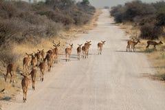 Impalas in the Etosha National Park in Namibia Stock Photography