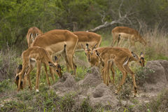 Impalas family, Kruger national park, SOUTH AFRICA Royalty Free Stock Image