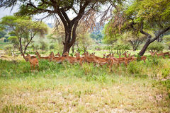 Impalas family in the shade of a tree. Tanzania. Stock Photo