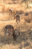 Impalas feeding on dried grass Stock Photo