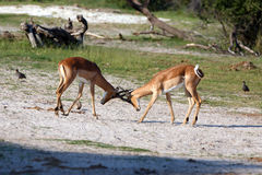 Impalas. Fighting Impalas in the Makgadikgadi Pans Nationalpark Stock Image