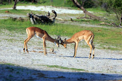Impalas. Fighting Impalas in the Makgadikgadi Pans Nationalpark Royalty Free Stock Image