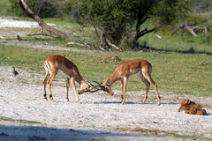 Impalas. Fighting Impalas in the Makgadikgadi Pans Nationalpark Royalty Free Stock Images