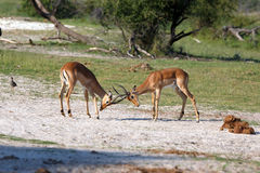 Impalas. Fighting Impalas in the Makgadikgadi Pans Nationalpark Stock Images