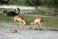 Impalas Royalty Free Stock Image