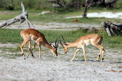Impalas Royalty Free Stock Image