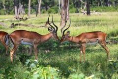 Impalas in the forest at masai mara. National park kenya Stock Photos