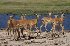 Impalas in front of Chobe River Stock Photos