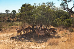 Impalas gathering under the shade of a tree Stock Image