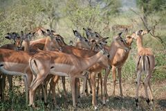 Impalas grazing Stock Images