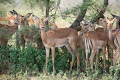 Impalas grazing Royalty Free Stock Image
