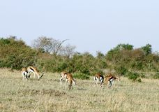Impalas grazing in the savannah grassland Royalty Free Stock Photo