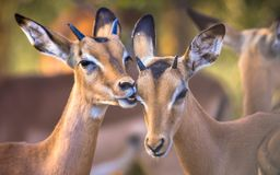 Impalas grooming sweetly. Impala (Aepyceros melampus) two animals grooming sweetly in Kruger National park, South Africa royalty free stock image