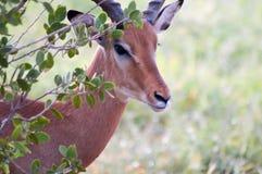Impalas head with defenses Royalty Free Stock Photos