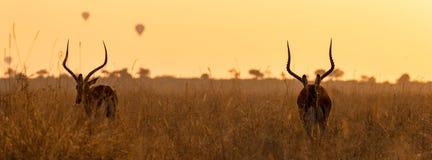 Impalas i balony przy świtem obraz royalty free
