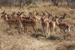 Impalas im Busch. Stockfotos