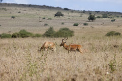 Impalas in Kenya Stock Image