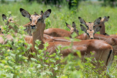 Impalas Stock Photography