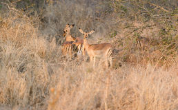 Impalas in Kruger Park South Africa Royalty Free Stock Photos