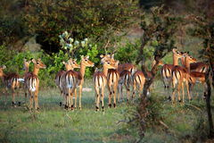 Impalas Looking in the Distance, Serengeti Royalty Free Stock Photo