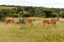 Impalas looking Royalty Free Stock Photos