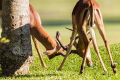 Impala Bucks Animals Fight Wildlife. Animal wildlife two Impala Males buck locking horns head on in small contest morning light in Nature reserve Stock Photography