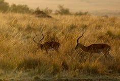 Impalas, masais Mara photos libres de droits