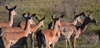 Impalas. Mikumi National Park, Tanzania. The Mikumi National Park is a national park in Mikumi, near Morogoro, Tanzania. The Mikumi is bordered to the south with Stock Photos