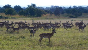 impalas Mikumi nationalpark, Tanzania royaltyfria bilder