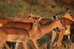Impalas in morning light Royalty Free Stock Photography