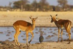Impalas at Nxai Pan NP Stock Photos