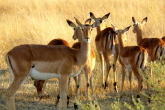 Impalas in Okavango delta, Botswana, Africa. Stock Images