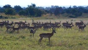 impalas Parc national de Mikumi, Tanzanie images libres de droits