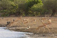 Impalas, pawiany i krokodyl na riverbank przy Obniżam Sabie, Kruger, Południowa Afryka Zdjęcia Stock