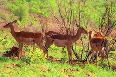Impalas Stock Photos