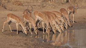 Impalas przy waterhole Zdjęcia Stock