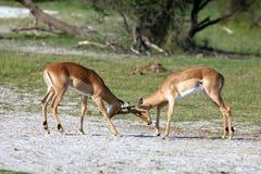 Impalas que luchan Imagen de archivo