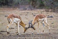Impalas que luchan en el parque nacional de Kruger, Suráfrica Fotos de archivo