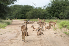 Impalas on the road Stock Images