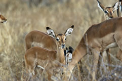 Impalas on Savanna, Kenya Africa. Antelopes known as Impalas, apprehensive and watchful with ears alert and eyes focused, eat dinner in the early evening hours Stock Image