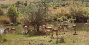 Impalas. Savanna scenery including some Impalas in South Africa stock image