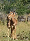 Impalas. Savanna scenery including some Impalas in South Africa royalty free stock images