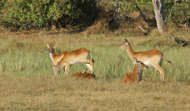 Impalas. Savanna scenery including some Impalas in South Africa royalty free stock photos