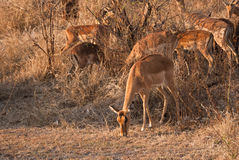 Impalas in savannah Stock Image