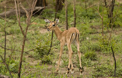 Impalas in savannah, kruger bushveld, Kruger national park, SOUTH AFRICA Royalty Free Stock Photo