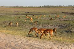 Impalas in the Savannah. In Southern Africa stock image