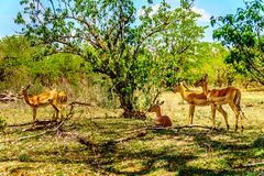 Impalas seeking shade under trees in Kruger National Park. In South Africa Stock Photos