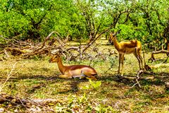Impalas seeking shade under trees in Kruger National Park. In South Africa Stock Photography