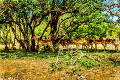 Impalas seeking shade under trees in Kruger National Park. In South Africa Royalty Free Stock Photography